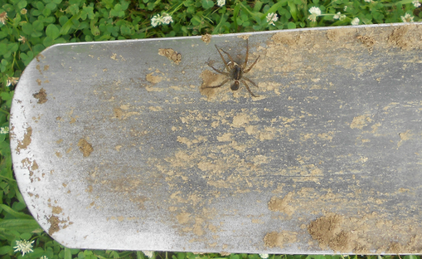 Wolf Spider with Eggs on spade
